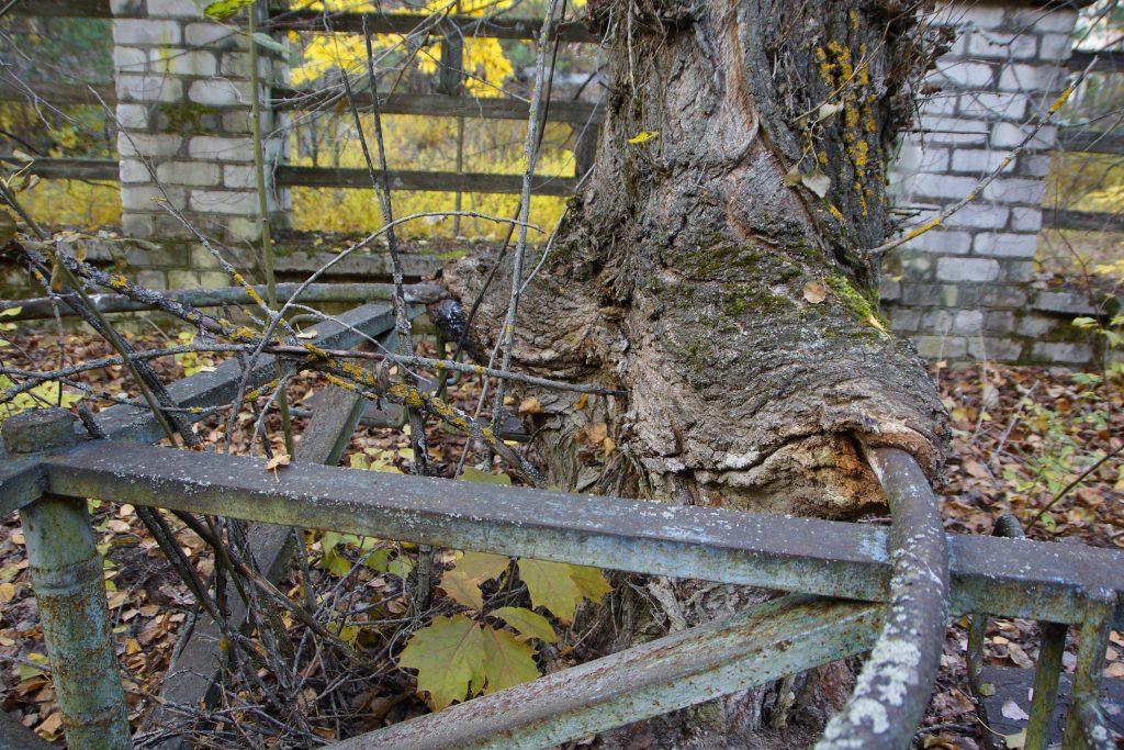 """Drzewo wrośnięte w karuzelę na placu zabaw przy przedszkolu nr 6 """"Drużba"""" (Przyjaźń) / Fot. Sebastian Marciak, marciak.pl"""