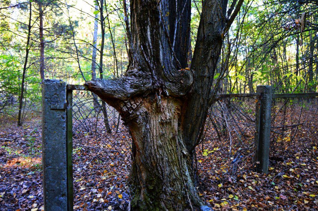 Dla tego drzewa płot nie jest przeszkodą. Wyprawa - wiosna 2016 r. Fot. Staszek (stalker)
