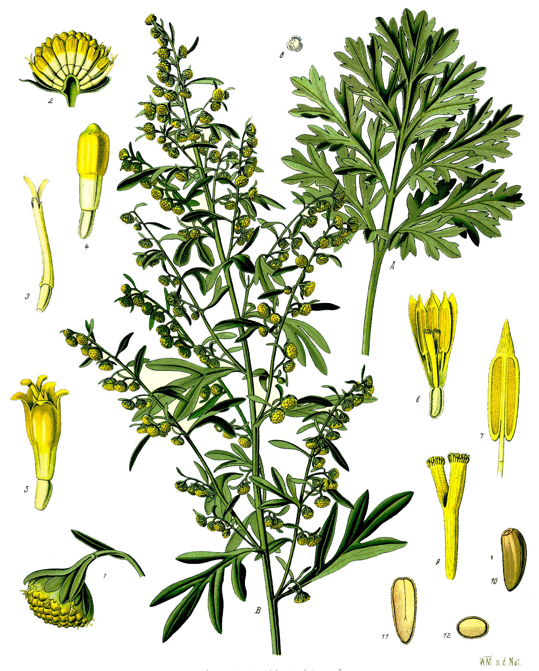Bylica piołun / Rys. Franz Eugen Köhler, Köhler's Medizinal-Pflanzen - List of Koehler Images, Domena publiczna, Link