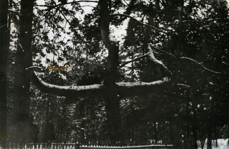 Archiwalne zdjęcia cmentarnej sosny w Podleśnym Chutorze. Fot. pripyat.com