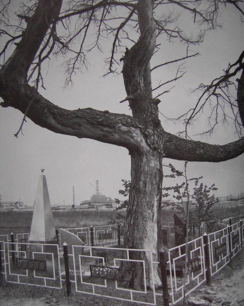 Zdjęcia sosny po wycięciu 'zrudziałego lasu' - Fot. pripyat.com, internet