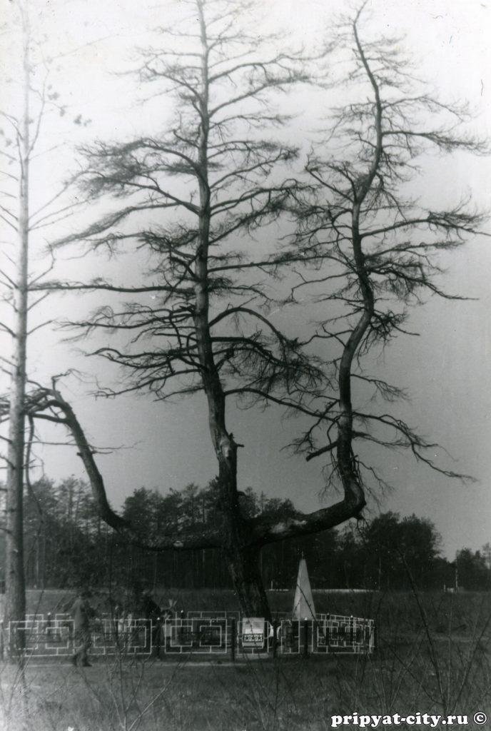 Zdjęcia sosny po wycięciu 'zrudziałego lasu' - Fot. pripyat-city.ru, internet