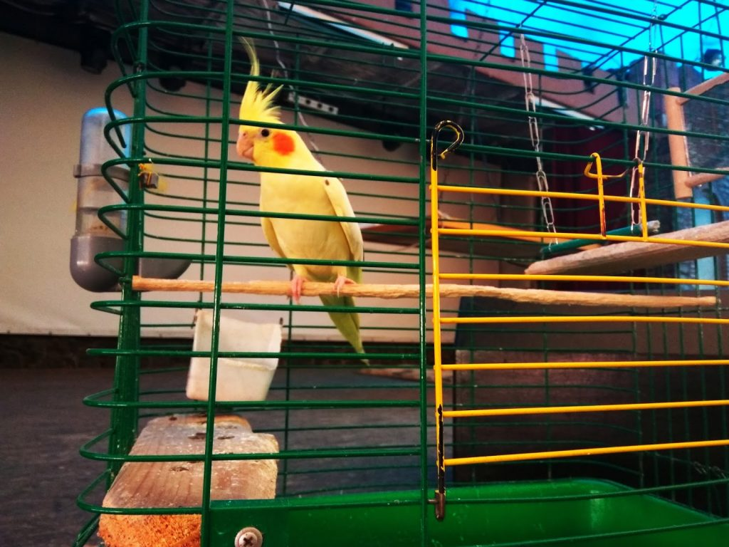 Malińska papuga. Fot. Staszek (stalker)